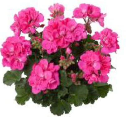Staand roze.PNG